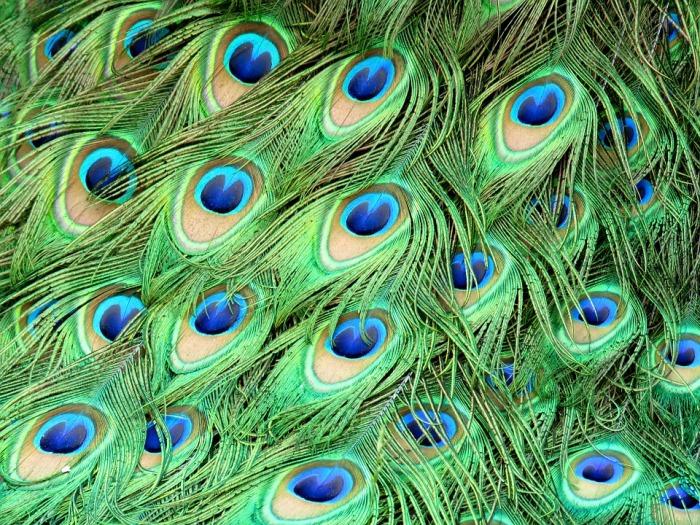 peacock-1660634_960_720